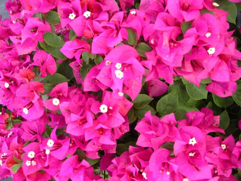 Bougainvillea | Outside Productions International
