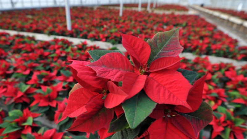The History of the Poinsettia - Outside Productions ...